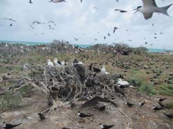 Birds come back to nest on Tern Island.