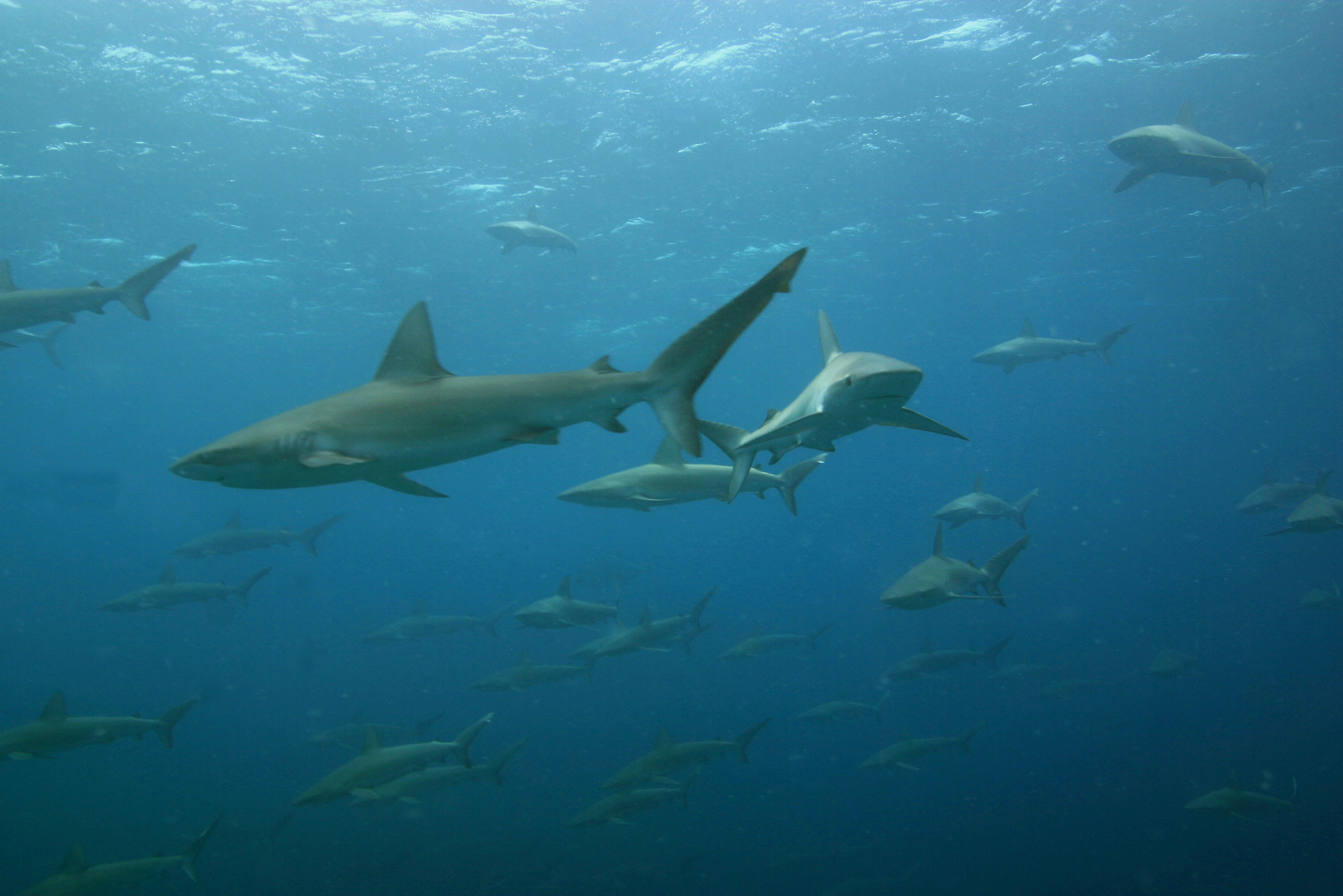 the galapagos shark Due to its somewhat remote habitat and patchy distribution, the galapagos shark is of little economic importance there is little information available regarding.