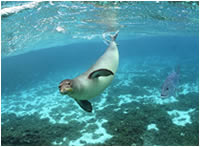 Hawaiian monk seal and ulua at Kure Atoll.