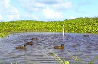 ducks on Laysan Island