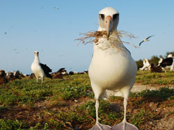 Laysan Albatross are abundant at Midway Atoll National Wildlife Refuge. Credit: Kittipong
