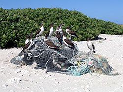 Brown Boobies (<i>Sula leucogaster</i>) sitting on a pile of marine debris on Green Island, Kure Atoll.