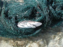 Shark entangled in derelict fishing net.