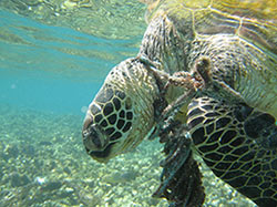 Derelict fishing gear, such as lines and rope, can entangle sea turtles, leading to fatal injuries.