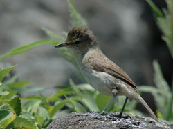 New hope for critically endangered Nihoa Millerbirds with their release on Laysan Island.