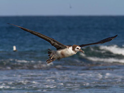 A young Laysan Albatross overcomes the odds and heads for the far North Pacific.