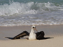 A young Laysan Albatross recovers from being caught in the spin-cycle of the waves.