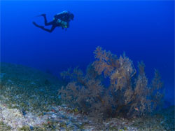 Technical diver surveying black coral populations.