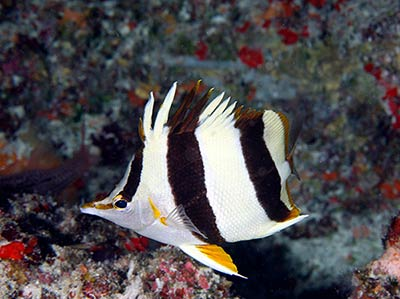 Pete Basabe's Butterflyfish (<em>Prognathodes basabei</em> Pyle and Kosaki 2016) at a depth of 180 feet off Pearl and Hermes Atoll, Northwestern Hawaiian Islands.