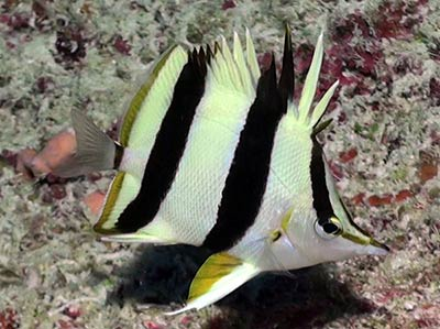 Pete Basabe's Butterflyfish (<em>Prognathodes basabei</em> Pyle and Kosaki 2016) at a depth of 220 feet off Pearl and Hermes Atoll, Northwestern Hawaiian Islands.