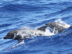 Bottlenose dolphins emerge from the swell approximately 30 km NE of French Frigate Shoals.