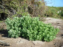 <em>Chenopodium oahuense</em> is planted in areas where the invasive <em>Pluchea indica</em> was removed.