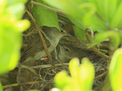 A male Nihoa Millerbird, B/G:S/O, visits his mate at their nest.