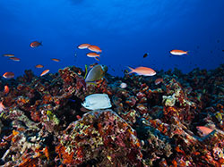 Deep reef off Midway Atoll dominated by Hawaiian endemic reef fish species.