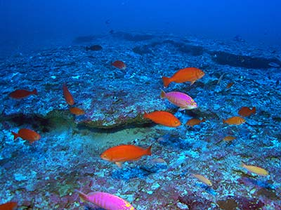 A school of Elegant Anthias (<em>Caprodon unicolor</em>), one of the most common fishes at 320 feet, Kure Atoll.
