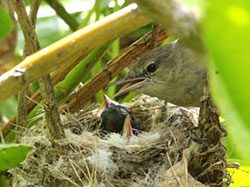 A female Millerbird looks on from her nest after feeding one of her chicks.