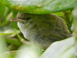 This ulūlu niau is the first Millerbird fledgling on Laysan in nearly 100 years.