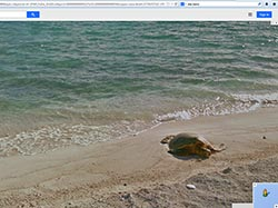 A green sea turtle comes ashore at Pearl and Hermes Atoll.