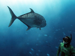 Kimi Werner greets a solitary ulua while diving in PMNM.