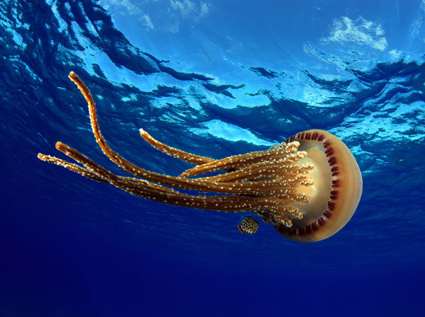Jellyfish at Pearl and Hermes Atoll, Papahanaumokuakea Marine National Monument