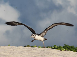 A young Laysan Albatross attempts an awkward take-off.