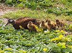 Laysan duck mother with her brood on Kure Atoll.