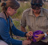USFWS biologist Meg Duhr-Schultz (right) holds a Laysan duck while USGS biologist Michelle Reynolds clamps an aluminum band on its leg for the translocation.