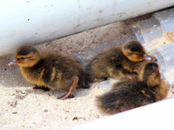 Laysan Ducklings in front of the hurricane shelter in camp.
