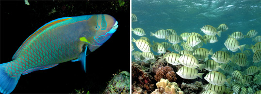 Herbivores such as this spectacled parrotfish and convict surgeonfish graze on benthic algae.