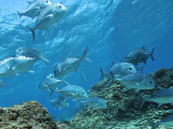 Giant trevally eat smaller herbivores and are in turn eaten by larger predators.