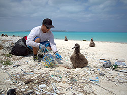A team member removes marine debris from an entangled albatross chick at Midway Atoll.