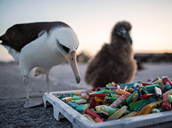 A Laysan albatross examines a collection of lighters and other plastics at Midway Atoll.