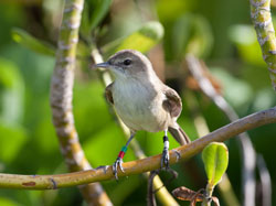 Nice pose of a Millerbird, the morning after release on Laysan.