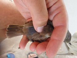 Scientist attaches radio transmitter to a Millerbird.