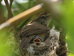 A female Millerbird at the NW Bowl territory, brooding one of her growing chicks.
