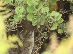 Unusual sighting on Laysan: a Millerbird perched – not in naupaka – but in an ʻāweoweo shrub.
