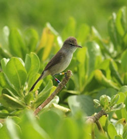 A Millerbird perches in plain view, just begging to be resighted.