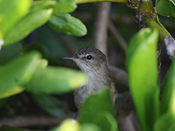 A sneaky Millerbird keeps its color banded legs, and therefore its identity well hidden.