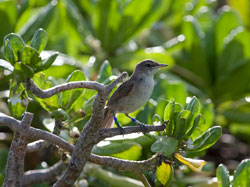 A Millerbird hanging out in the naupaka.