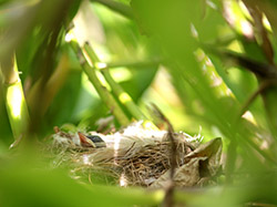 A young Millerbird nestling rests on the rim of its nest.