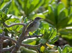 Translocated Millerbird at home on Laysan Island.