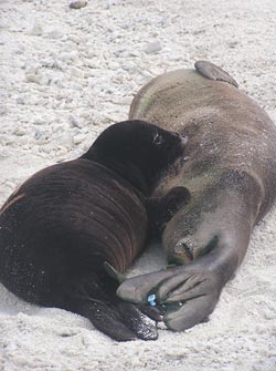 Hawaiian monk seal mother (right) and her nursing pup.