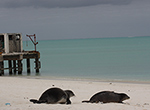 Two female Hawaiian monk seals, Pua and Mele, are released on Kure Atoll in the Northwestern Hawaiian Islands.