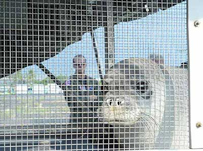 One of the seals peeks out at its surroundings during transport.