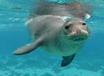 Hawaiian monk seals are endemic to the Hawaiian Archipelago.