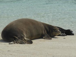 Monk seal with pup on North Shore of Laysan Island.