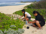 ʻŌhai planting along the north coast at Kaʻena Point.