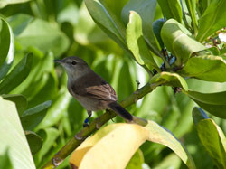 A Nihoa Millerbird watching for unsuspecting insects in the naupaka on Laysan Island.