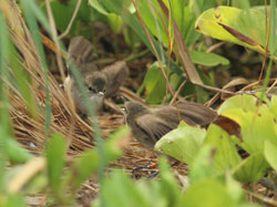 A pair of Millerbirds wing-fluttering to each other, a courtship behavior.