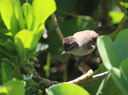 A 2013 Millerbird fledgling with crest raised and practicing his male song.